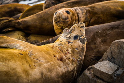 Elephant seals on Adelaide Island, Antarctica