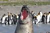 Elephant Seal South Georgia-24