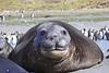 Elephant Seal South Georgia-21
