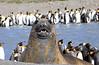 Elephant Seal South Georgia-17