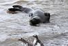 Elephant Seal South Georgia-33