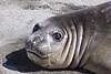Elephant Seal South Georgia-15