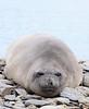 Elephant Seal South Georgia-3
