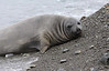 Elephant Seal South Georgia-4