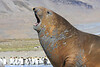 Elephant Seal South Georgia-26