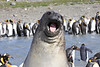 Elephant Seal South Georgia-16