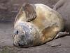 Elephant Seal South Georgia-11