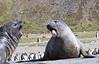 Elephant Seal South Georgia-13