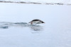 Gentoo_Penguin_Flying0030