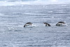 Gentoo_Penguin_Flying0044