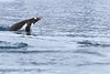Gentoo_Penguin_Flying0046