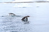 Gentoo_Penguin_Flying0025