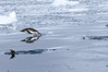 Gentoo_Penguin_Flying0041