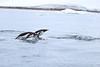 Gentoo_Penguin_Flying0022