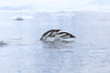 Gentoo_Penguin_Flying0031