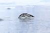 Gentoo_Penguin_Flying0031