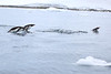Gentoo_Penguin_Flying0023