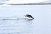 Gentoo_Penguin_Flying0024