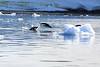 Adelie_Penguin_Flying0003