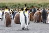 King_Penguins_0057