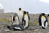 King_Penguins_0082