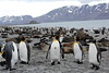King_Penguins_0076