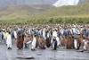 King_Penguins_0030