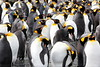 King_Penguins_0075