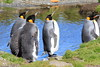 King_Penguins_0089