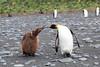 King_Penguins_0023