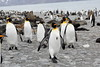 King_Penguins_0077