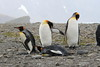 King_Penguins_0084