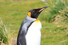 King_Penguins_0087