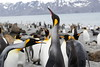 King_Penguins_0079