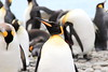 King_Penguins_0085