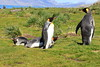King_Penguins_0086