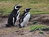 Magellenic Penguin Falkland Islands-12