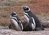 Magellenic Penguin Falkland Islands-10