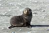 Fur_Seal (35)