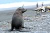 Fur_Seal (44)