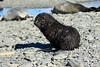 Fur_Seal (29)