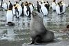 Fur_Seal (46)
