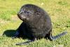 Fur_Seal (32)