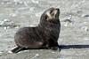 Fur_Seal (36)