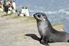 Fur_Seal (34)