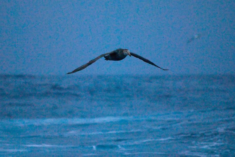 Southern Giant-Petrel (Macronectes giganteus)