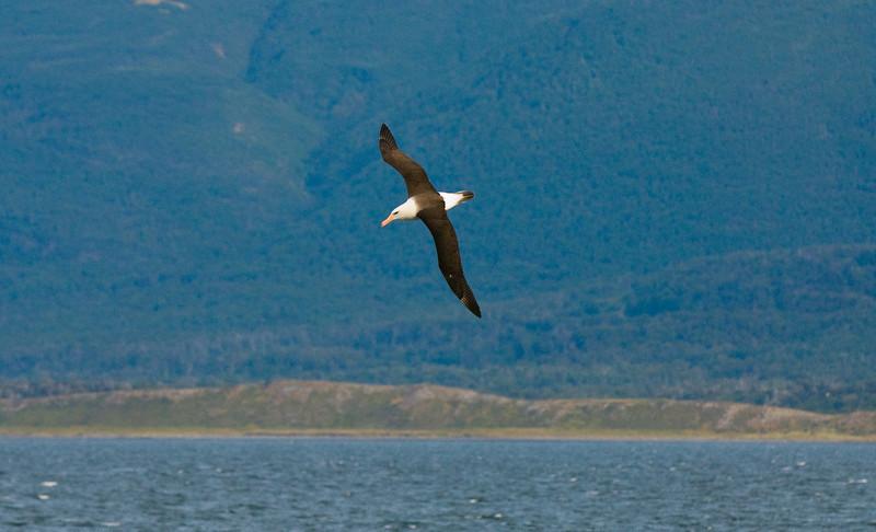 Black-Browned Albatross (Thalassarche melanophris)