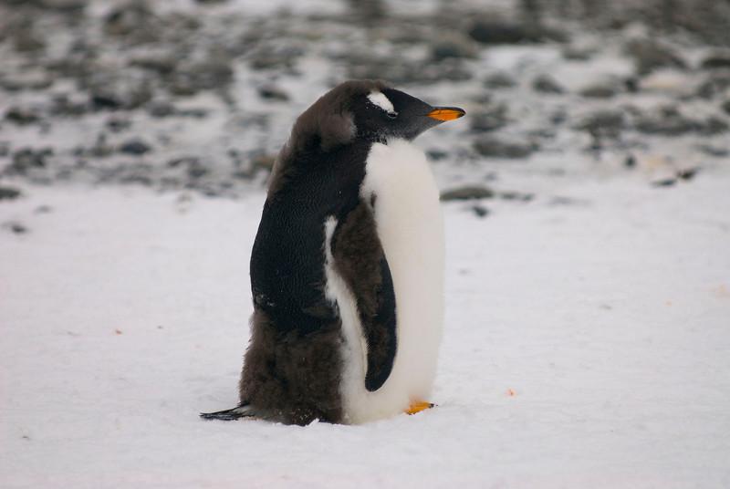 Southern Gentoo Penguin (Juvenile) (Pygoscelis pygoscelis ellesworthi)
