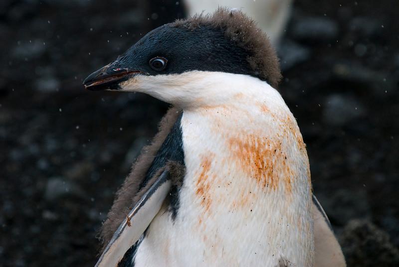 Adelie Penguin (Juvenile) (Pygoscelis adeliae)