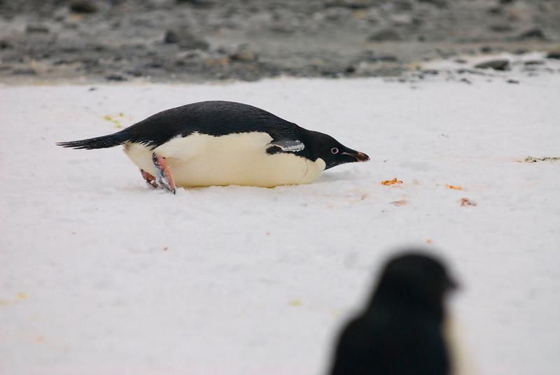 Adelie Penguin (Pygoscelis adeliae) tobogganing